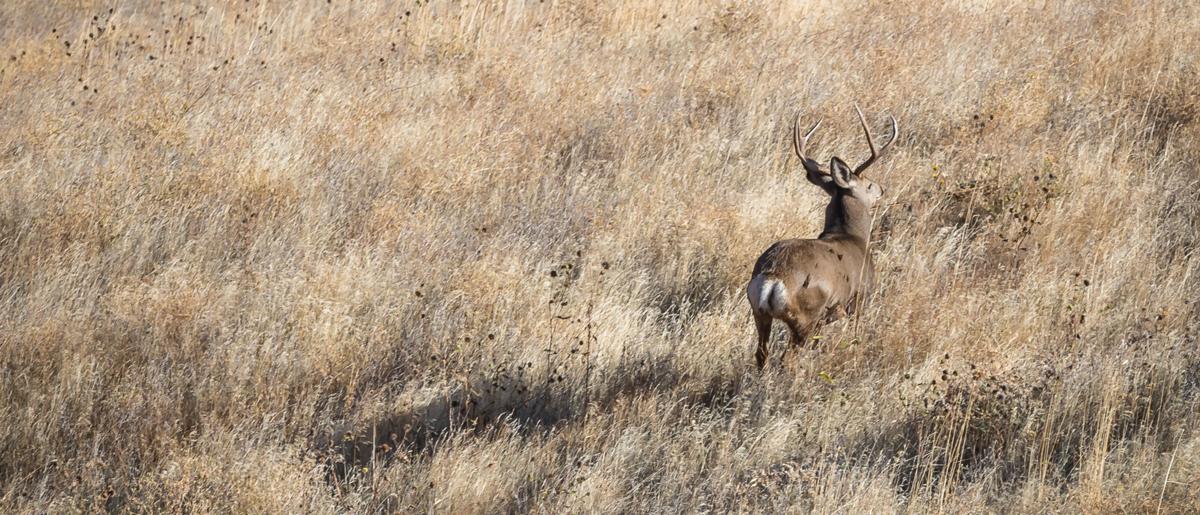 Deer in grass at ZMI Ranch