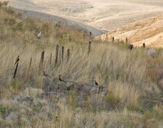 Pheasants at ZMI Ranch